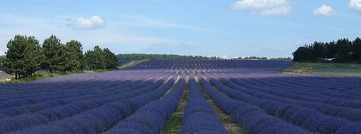 Lavender Field - Books set in France - The Lantern by Deborah Lawrenson