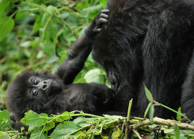 Mother and baby gorilla in Volcanoes National Park, Rwanda